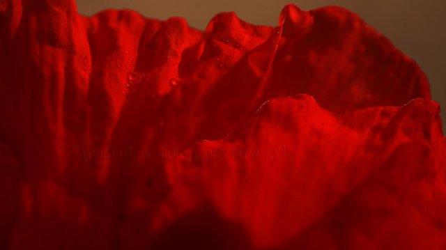 Abstracción en rojo amapola