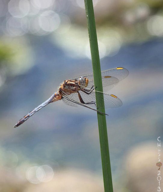 Agua y vida (Orthetrum chrysostigma)