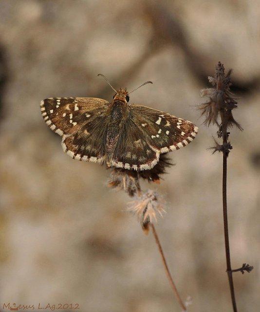 Ajedrezada  (Pyrgus sp)