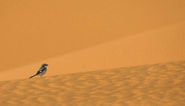 Alcaudón irreal (Southern Gray Shrike)