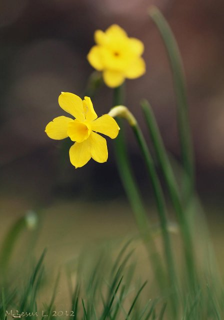 Amarillo (Narcissus)