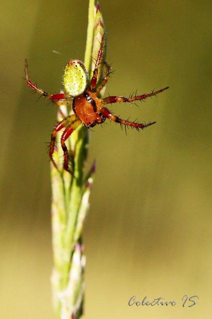 Araña bicolor