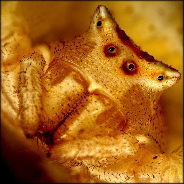 Araña cangrejo amarilla  (retrato)  Thomisus onustus