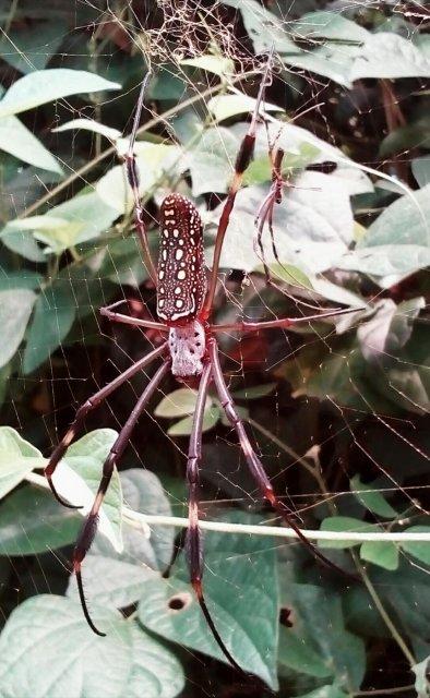 Araña de seda dorada
