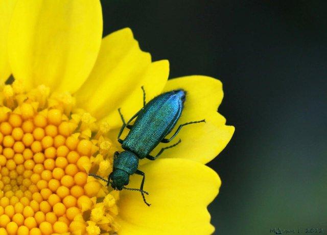 Brillos naturales (Psilotrix viridicaerulens)