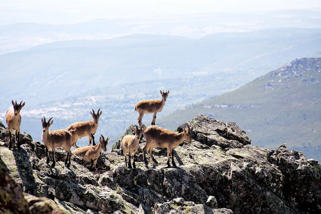 Cabras en la Peña de Francia