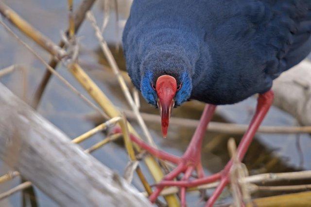 Calamón común (Purple Swamphen)