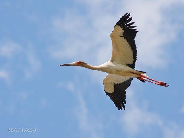 Cigüeña en vuelo