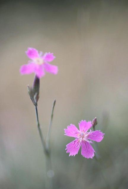 Clavelitos en flor