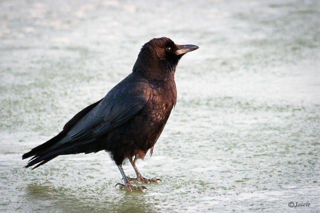 Corneja negra (Corvus corone)