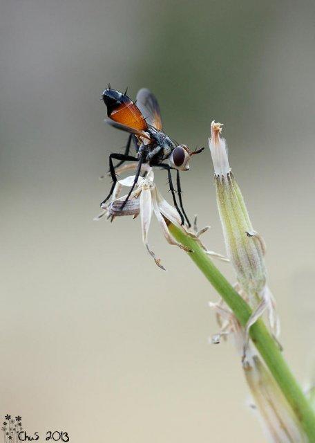 Cylindromyia pilipes