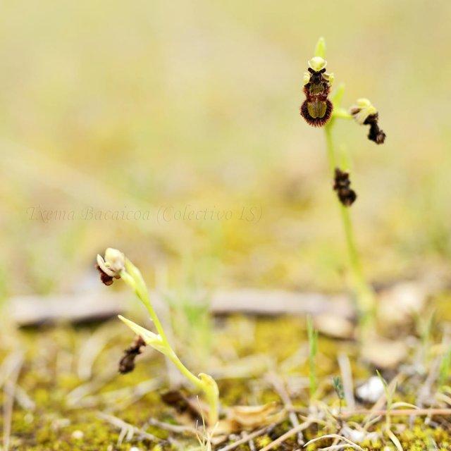 El engaño de la orquídea