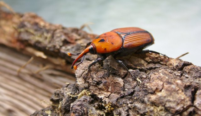 El Picudo Rojo (Rhynchophorus ferrugineus)