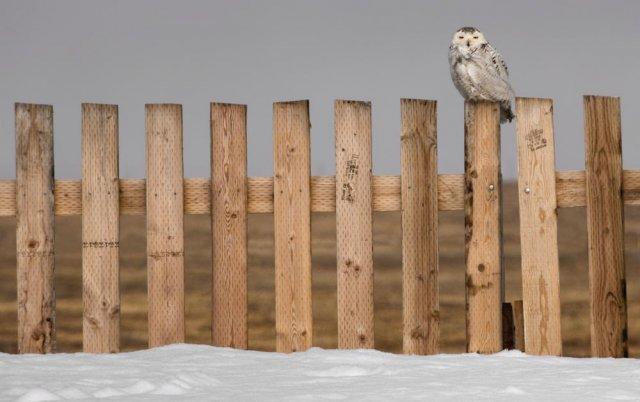 En el octavo poste (Snowy Owl)