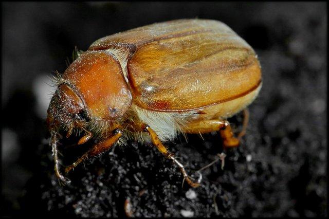 Escarabajo peludo.
