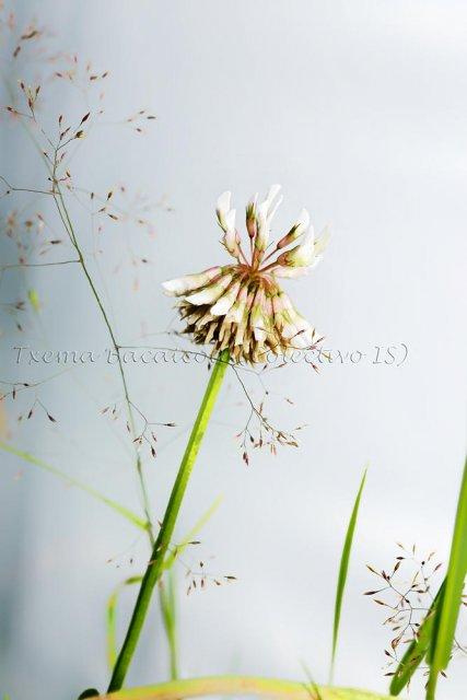 Flor de trébol y otras hierbas