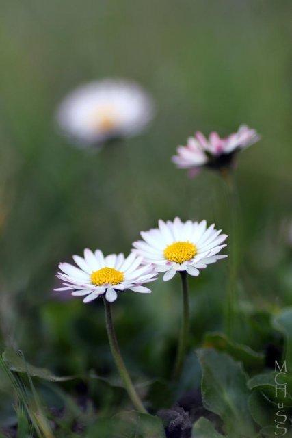 Flores (Bellis perennis)
