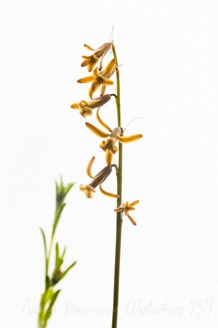 Jacinto silvestre  (Dipcadi serotinum)