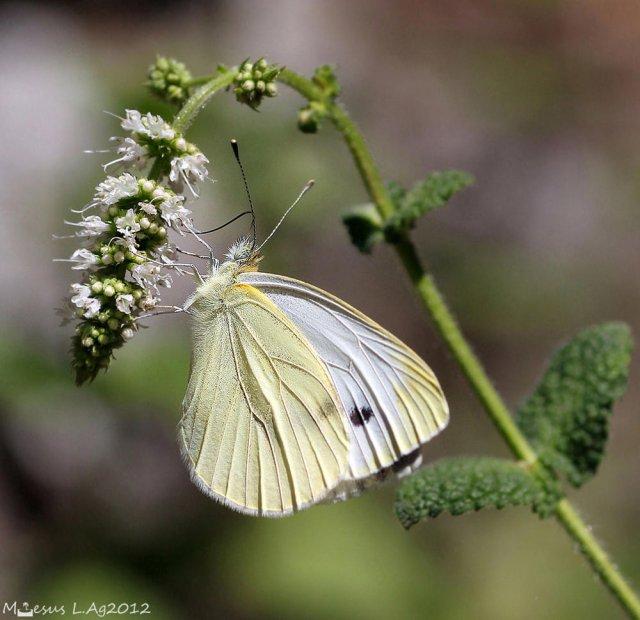 La blanquita de la col (Pieris rapae)
