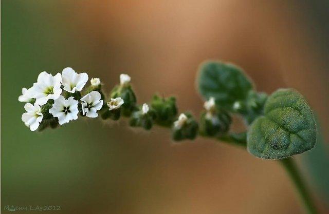 La verrucaria (Heliotropium europaeum)