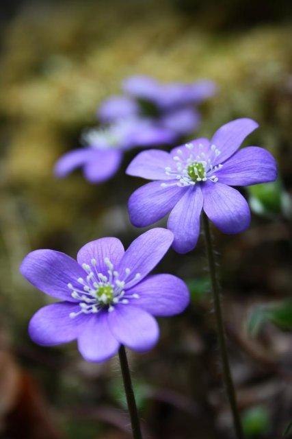 Las violetas
