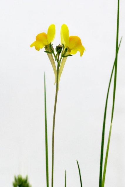 Linaria oblongifolia