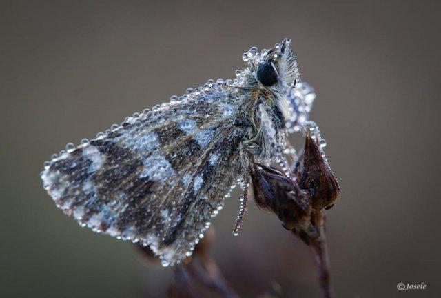 Mariposa con rocío