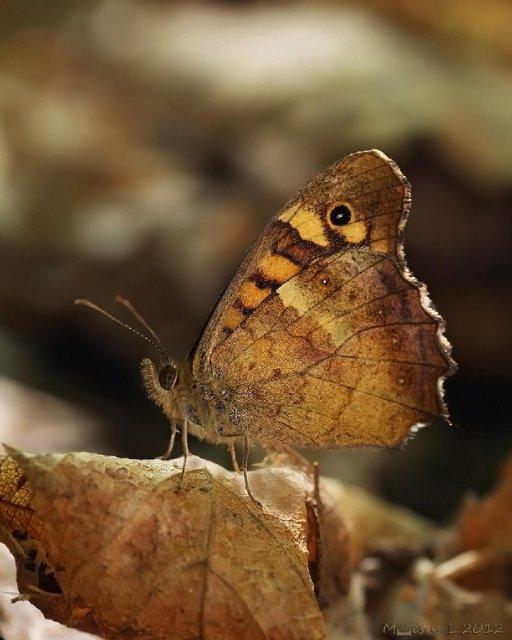 Mariposa de los muros (Pararge aegeria)