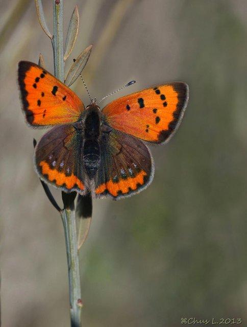 Mariposa manto bicolor...