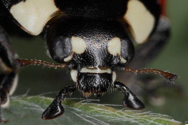 Mariquita (Coccinella septempunctata) - retrato -