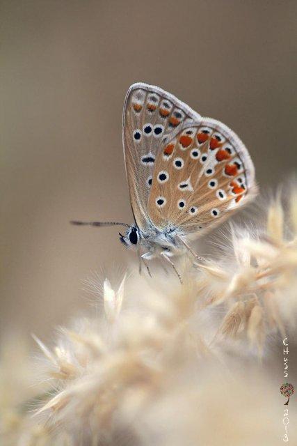 Morena (Aricia cramera)