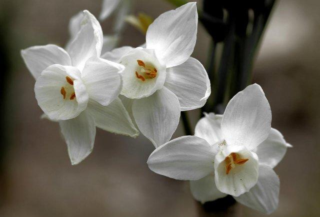 Narcisus dubius