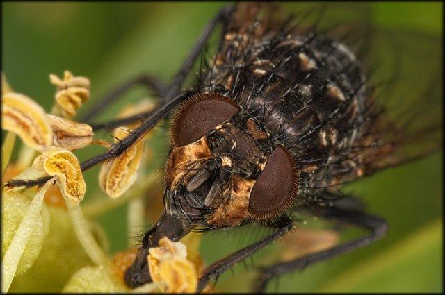 Otra mosca retratada.