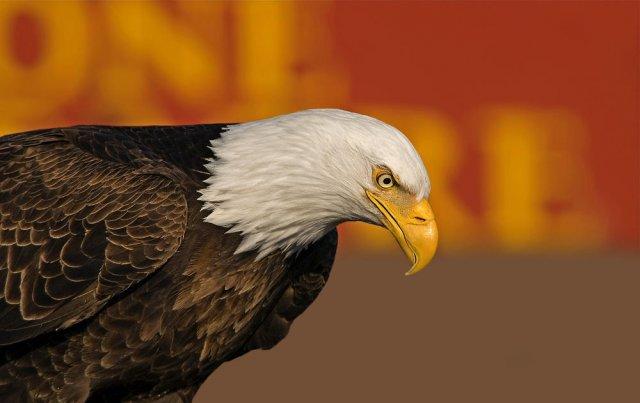 Pigargo americano (Balb Eagle)
