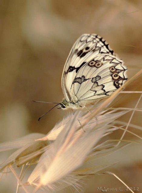 Suave y delicada (Melanargia lachesis)