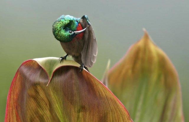 Suimanga ventrioliva (Olive-bellied Sunbird)