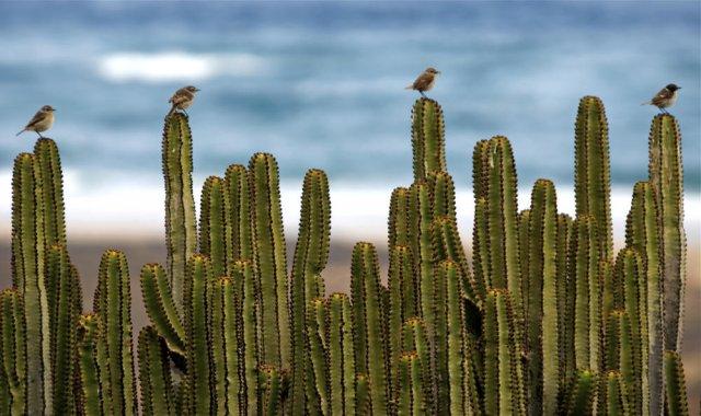 Tarabillas canarias (Fuerteventura Stonechat)