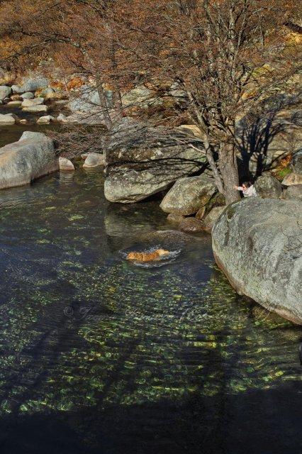 Un perro nutria en el río Jerte