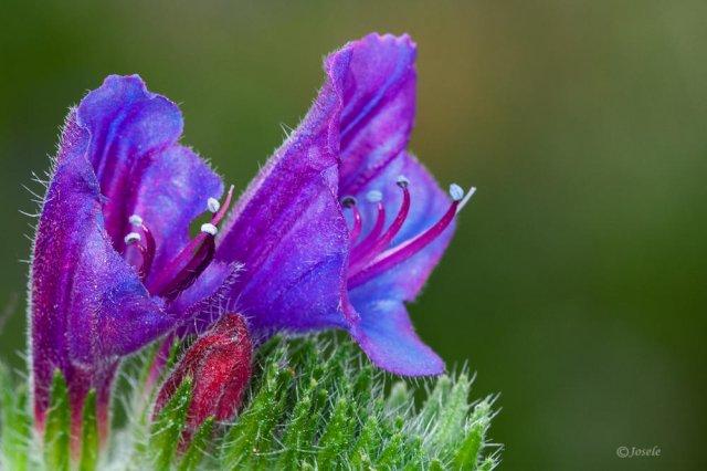 Viborera (Echium vulgare)