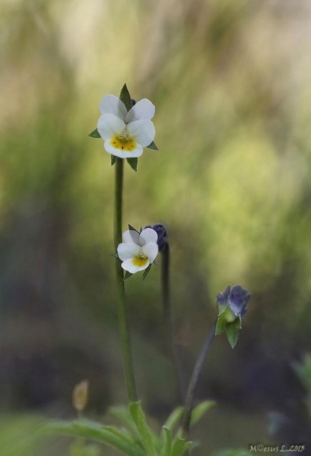 Viola kitaibeliana o violeta