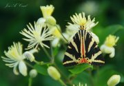 Calimorfa o Mariposa Tigre