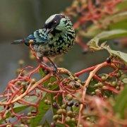 Tangara de lentejuelas (Beryl-spangled Tanager)