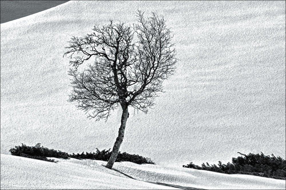 Abedul en la nieve (2) (Salvador Solé Soriano)