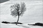 Abedul en la nieve (2)