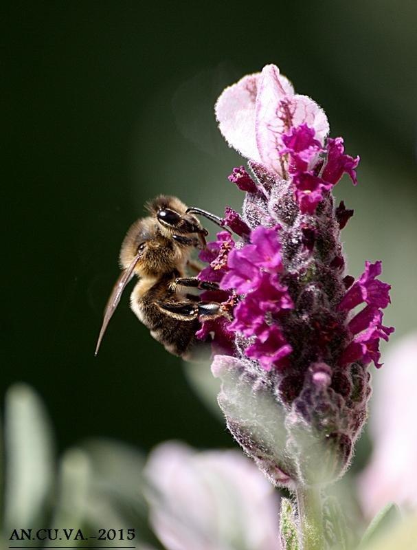 abeja (Antonio Cuenca.   vaya)