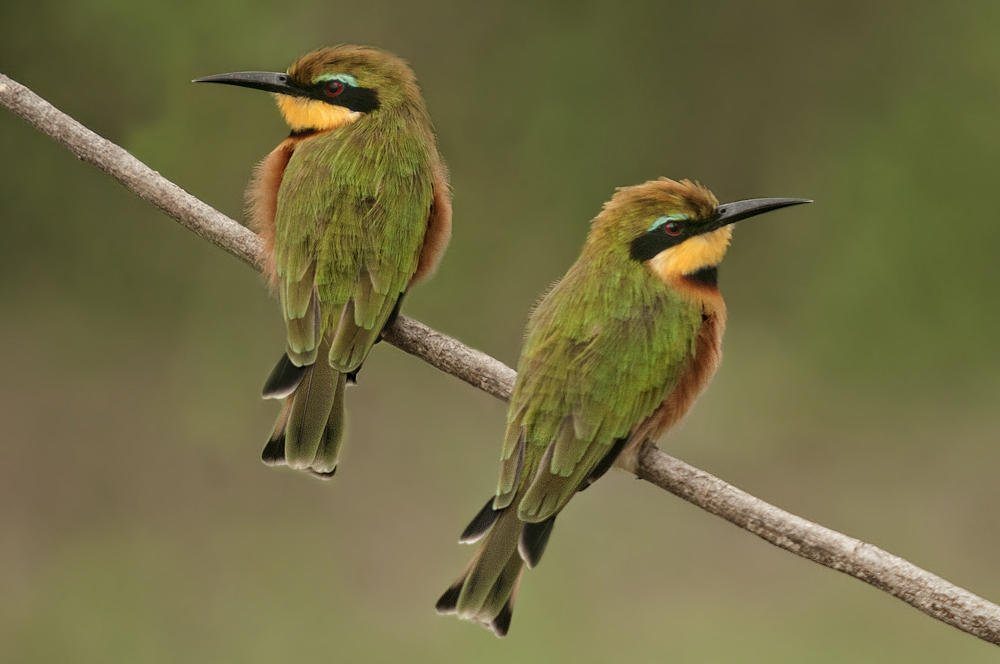Abejaruco chico (Little Bee-eater) (Salvador Solé Soriano)