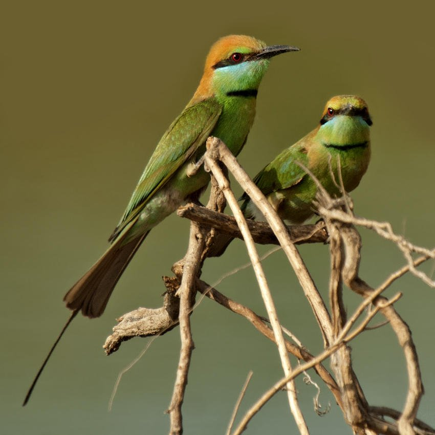 Abejaruco esmeralda (Little Green Bee-eater) (Salvador Solé Soriano)
