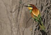 Abejaruco europeo (European Bee-eater)