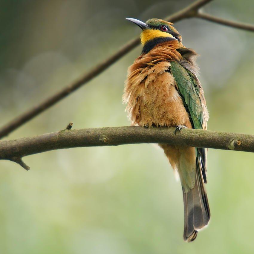 Abejaruco montano (Cinnamon-chested Bee-eater) (Salvador Solé Soriano)