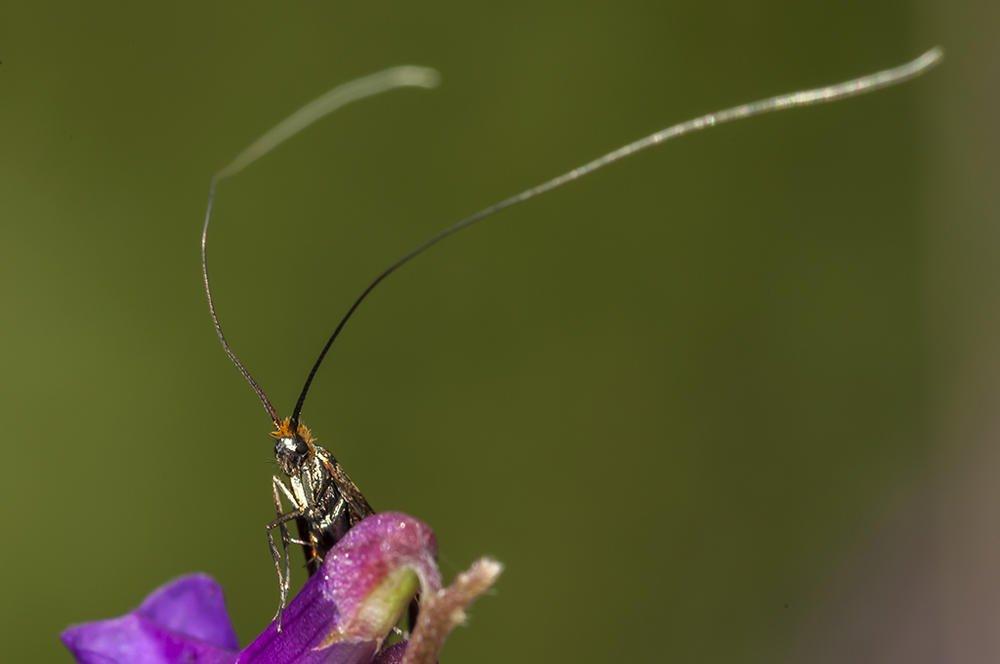 Adela australis (Jaume Bobet)